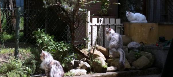 Maine Coon Ypsilon Clan katten Gragnola 13