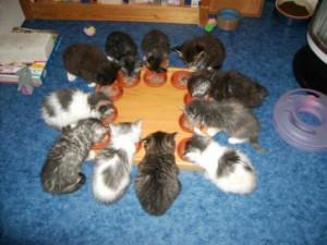 Maine Coon Ypsilon Clan kittens 08
