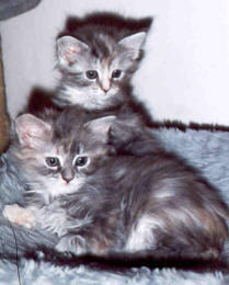 Maine Coon Ypsilon Clan nest  Etosha Whiskey 2005
