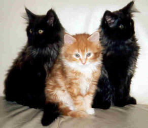 Maine Coon Ypsilon Clan nest  Smokey 2002 Ysis Mitch 2003