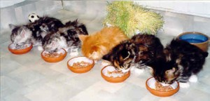 Maine Coon Ypsilon Clan nest Yakima Highlander 2001
