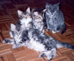 Maine Coon Ypsilon Clan nest  Yhoni Chief 2004