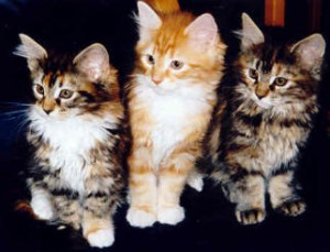 Maine Coon Ypsilon Clan nest  Ysis Denver 2002