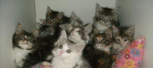 Maine Coon Ypsilon Clan kittens 09
