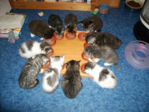 Maine Coon Ypsilon Clan kittens 08