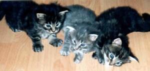 Maine Coon Ypsilon Clan nest  Kyra Mitch 2003