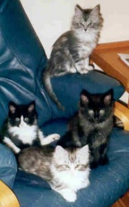 Maine Coon Ypsilon Clan nest Smokey Maxx 2002