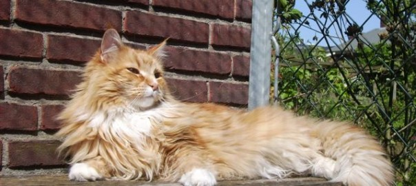 Maine Coon Ypsilon Clan Yedin 09